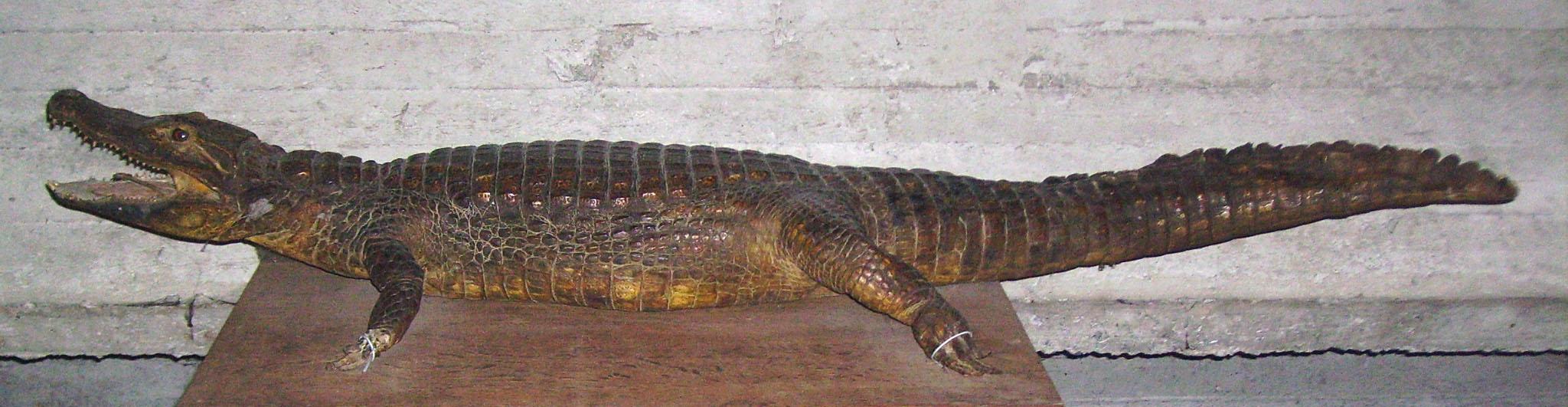 Krokodil Kerselare