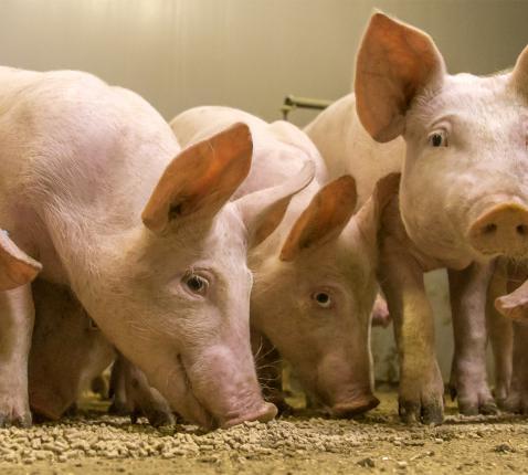 Wereldwijd neemt de consumptie van rundsvlees af, terwijl die van kippen en varkens pijlsnel stijgt © rr
