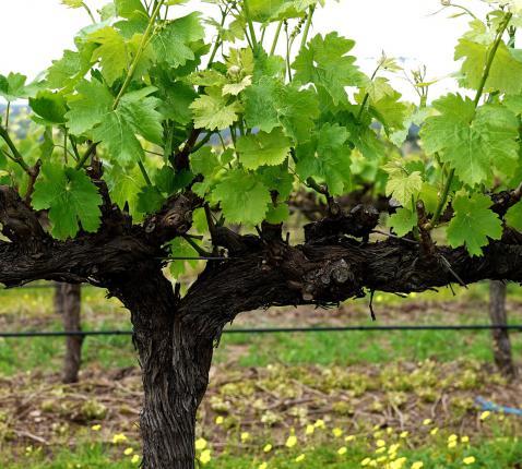Ik ben de wijnstok, gij de ranken. Wie in Mij blijft, zoals Ik in hem, die draagt veel vrucht, want los van Mij kunt gij niets (Joh. 15) © pixabay