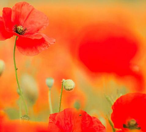 Painting Poppies, Stephen Darlington © flickr.com
