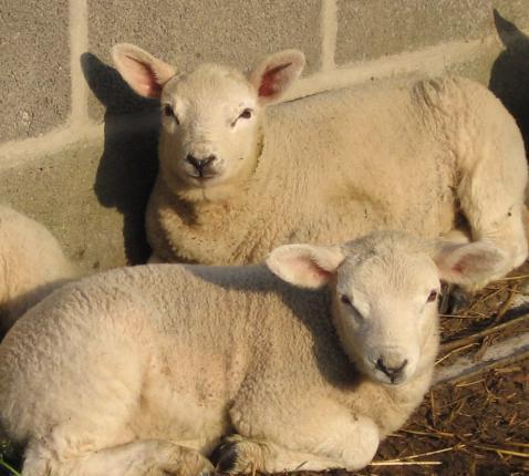 Schaapjes zonder herder © jafs