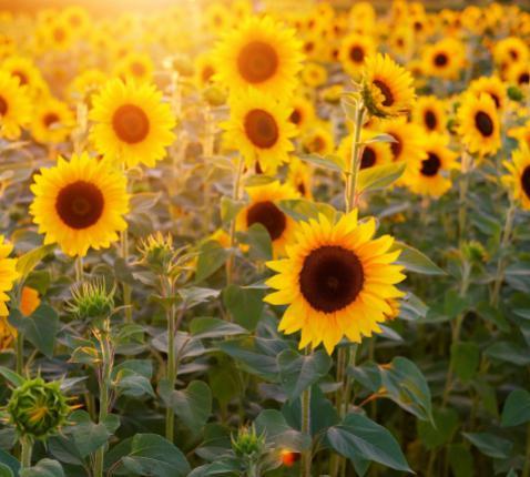 zonnebloemen © Pixabay