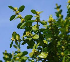 buxusplant © Hans Braimee - Pixabay