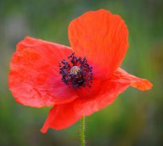 Rode of witte poppys? Dood of leven? © http://pixabay.com/nl/
