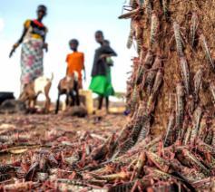 Oost-Afrika gaat al sinds begin 2020 gebukt onder een sprinkhanenplaag © Misereor/Picture Alliance