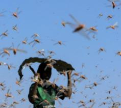 Sprinkhanen vernielen de oogsten en tasten voedselreserves aan  © Misereor