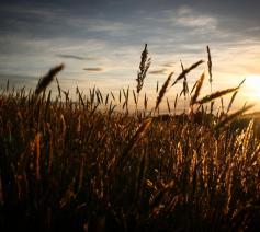 Jezus door de velden © RR