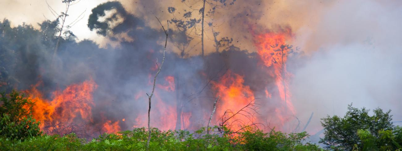 De verwoesting van het Amazoneregenwoud is gedeeltelijk het gevolg van een beleid  dat landbouwers ertoe aanzet woud op te offeren voor veeteelt. © rr