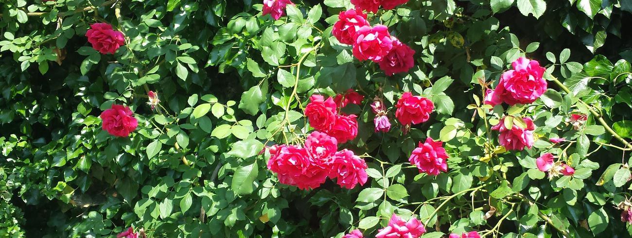 'Sinds enkele jaren genieten we met zijn tweeën van de bloeiende rozenmuur.' © Kolet Janssen