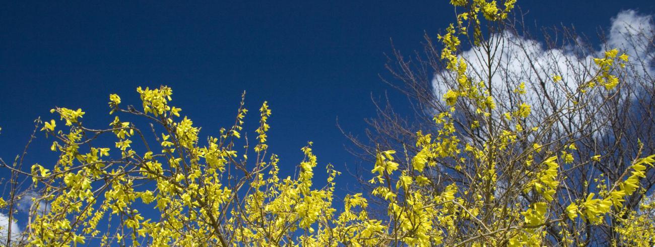 'De forsythia bloeit even uitbundig als andere jaren.'  © Flickr / Dean Krafft