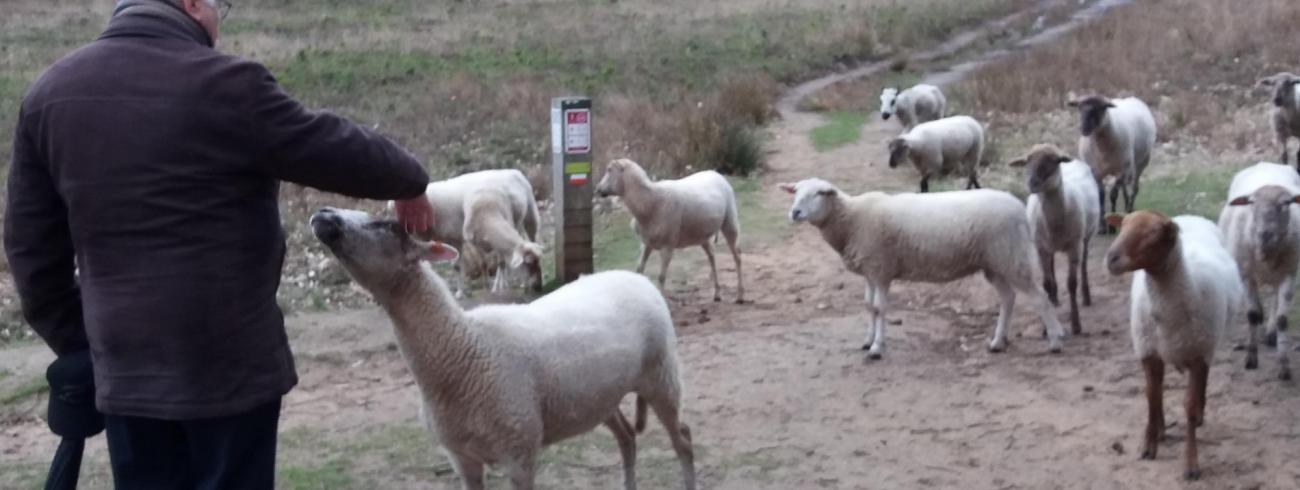 de Herder roept zijn schaapjes
