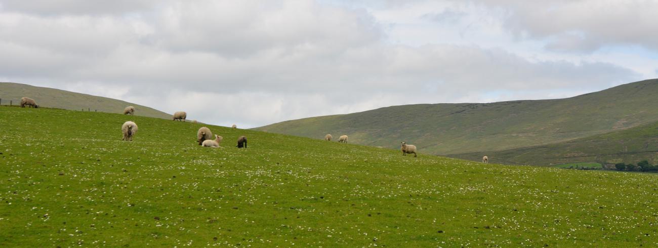 Schapen en groene weiden in Ierland