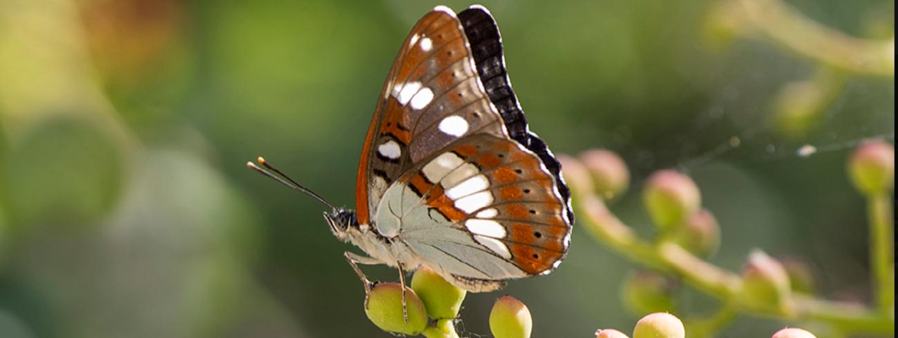 vlinder © Sonja Bron