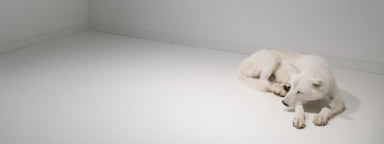 Een van de meest markante ruimtes in het belevingscentrum van de kapucijnen in Meersel-Dreef toont een witte wolf in een al even witte kamer. Het beeld verwijst naar het verhaal van Sint-Franciscus en de wolf van Gubbio. © Exponanza