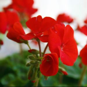 Rode geraniums © Canva