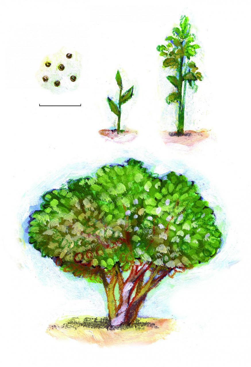 Het zaadje groeit uit tot een mosterdboom © Roel Ottow