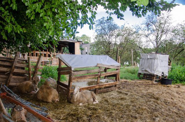 vzw Chant des Cailles maakt schapenkaas van de melk van deze schapen © Hellen Mardaga